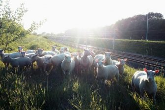 Sheep near the tracks in Herve, Belgium, source: Infrabel
